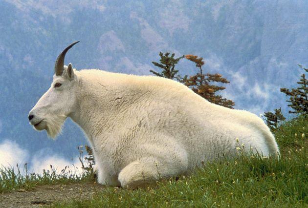 La cabra montesa es el símbolo oficial del parque