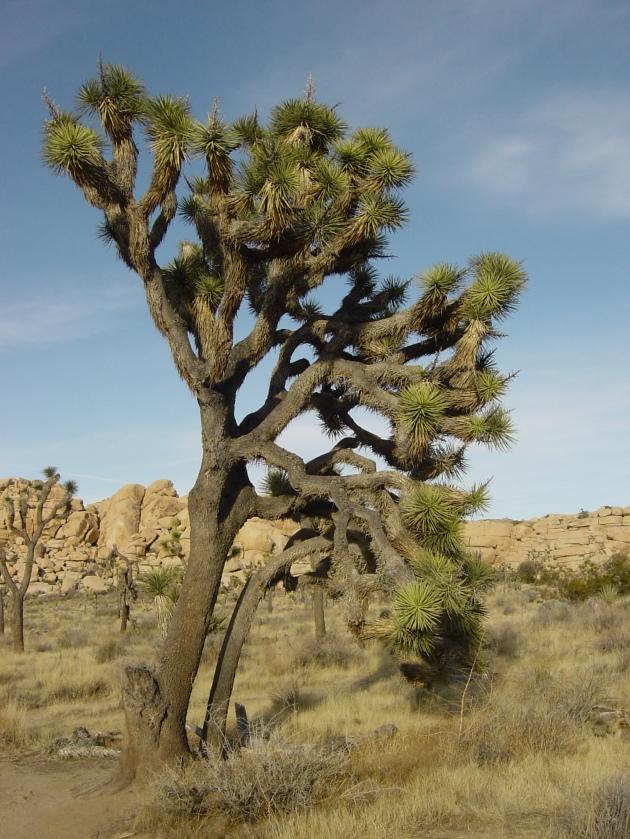 El árbol de Josué, que da nombre al parque.