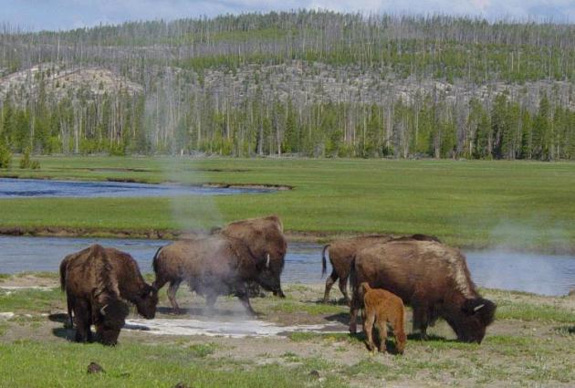 Bisontes pastando cerca de una fuente caliente